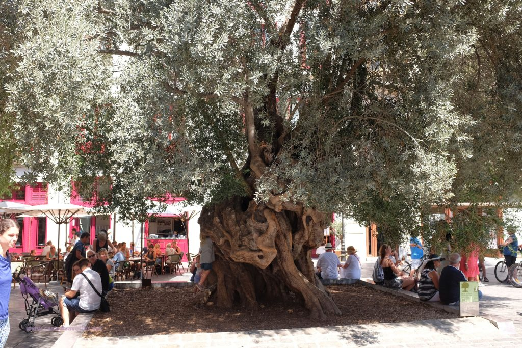 Ancient olive tree in Palma, Majorca